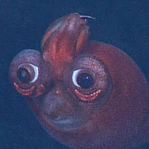 深海に漂うETみたいな顔のヤツ「キタノクジャクイカ」