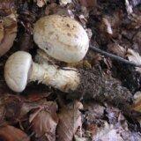 モグラのトイレに菌糸を伸ばして栄養を吸収するウンコ探しの名人「ナガノエノスギタケ」