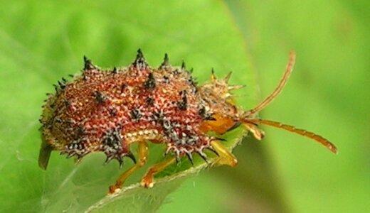 この虫トゲトゲしてるから名前「トゲトゲ」にしよーw「トゲトゲ(トゲハムシ)」