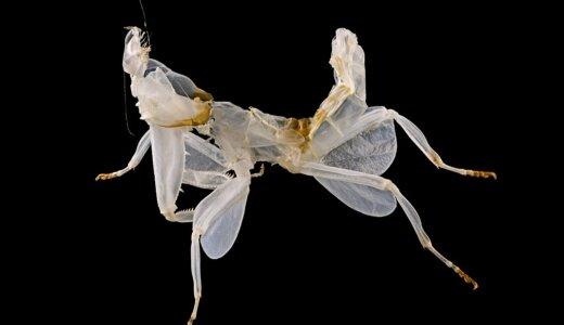ハナカマキリの幼虫は口からミツバチと同じ匂いを出してミツバチを誘き寄せる