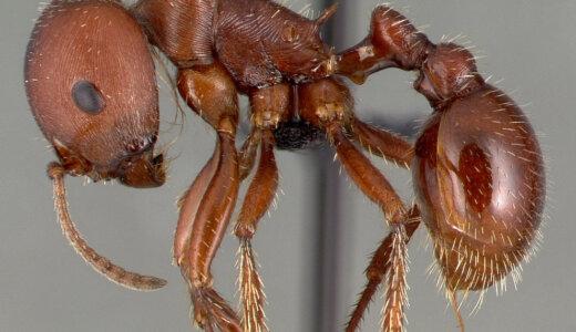 「アカシュウカクアリ」のオスは口もなくただ交尾するためだけに生まれてくる