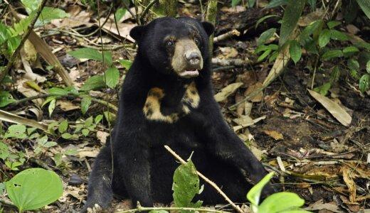 クマは粘土のような「止め糞」で冬眠中は肛門に栓をしている