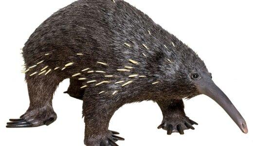 針が体から生えていて卵を産む哺乳類「ミユビハリモグラ」