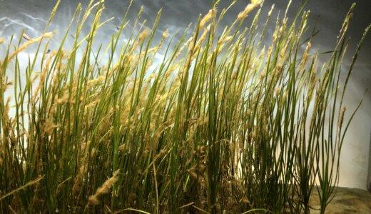 日本一長い植物の名前は「リュウグウノオトヒメノモトユイノキリハズシ」21文字