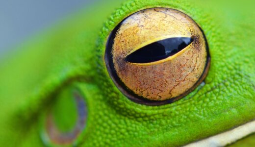 カエルは水晶体の厚みを変えるのではなく、水晶体を前後に動かして焦点を合わせる
