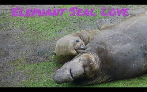 【動画】ゾウアザラシのオスの求愛がDVまがいすぎてヤバい