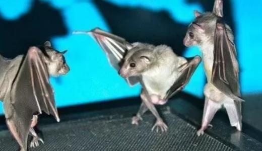 コウモリは脚で立つことができない