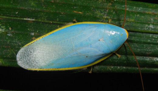 水色のゴキブリ!?ゴキブリなのに美しすぎるヤツ「ソライロゴキブリ」
