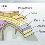弁慶の泣き所を打つと痛いのは骨の表面を覆っている骨膜がほぼむきだしだから