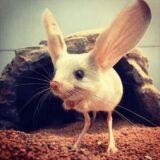 耳のサイズが体の三分の二もあるヤツ「オオミミトビネズミ」