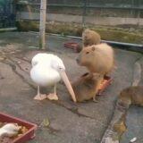 【動画】カピバラの赤ちゃんを丸飲みしようとトライするペリカン