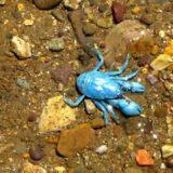 【動画】超希少な青色のタンスイコシオリエビが見つかる