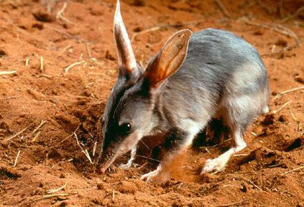 耳が大きいけどウサギではない異次元なかわいさのヤツ「ミミナガバンディクート」