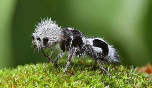 アリなのに体色が完全にパンダなヤツ「パンダアリ」