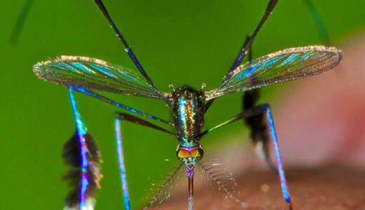 蚊なのに憎いぐらいめちゃくちゃ美しいヤツ「Sabethes cyaneus」