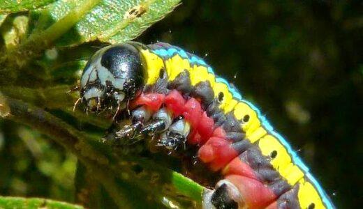 イモムシなのに三原色の体色がとってもオシャレなヤツ「Cucullia sp.」