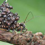 殺戮した大量のアリの死体を背中に乗せてドヤ顔で歩くヤツ「サシガメ」
