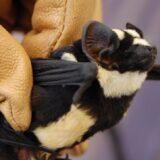 コウモリなのに白と黒の体毛!小さいパンダにしか見えないヤツ「パイドバット」