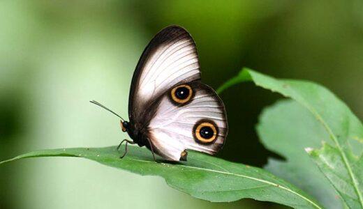 翅にはっきり描かれた目がジッと見つめてくるヤツ「カトプスメダマワモン」